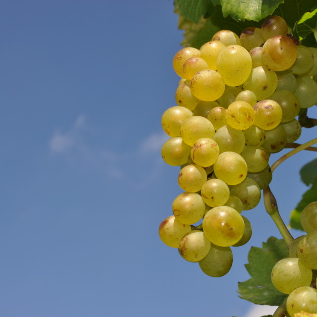 """Grapes"" stock image"