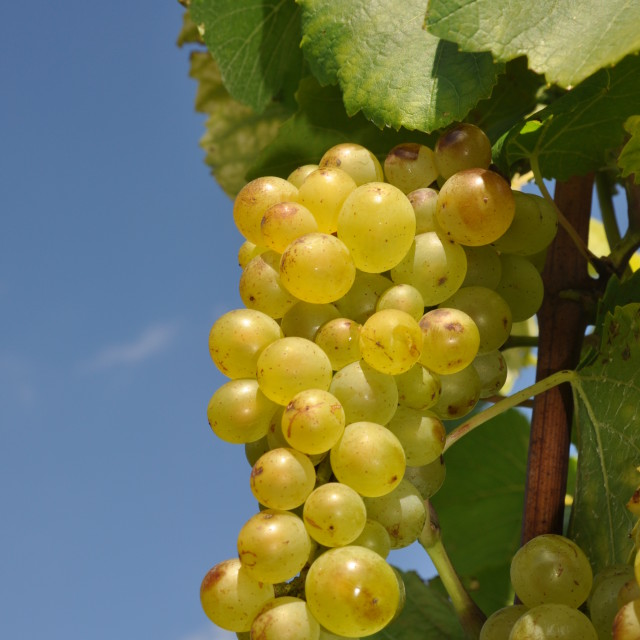 """""""Grapes"""" stock image"""