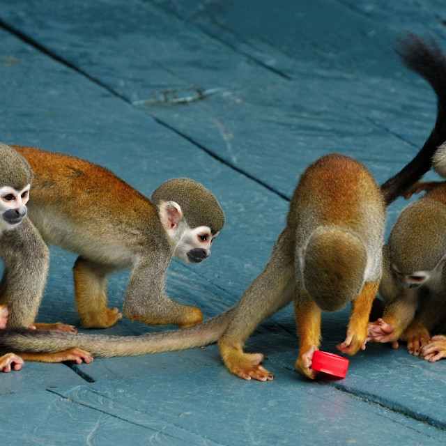 """Squirrel monkey"" stock image"