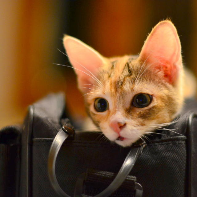 """cat inside the camera bag"" stock image"