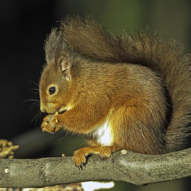 """Red Squirrel at Keilder"" stock image"