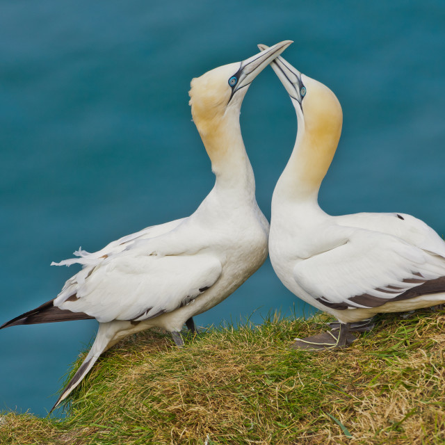 """""""Courting Gannets"""" stock image"""