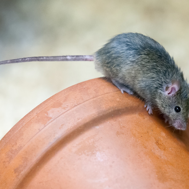 """House Mouse"" stock image"