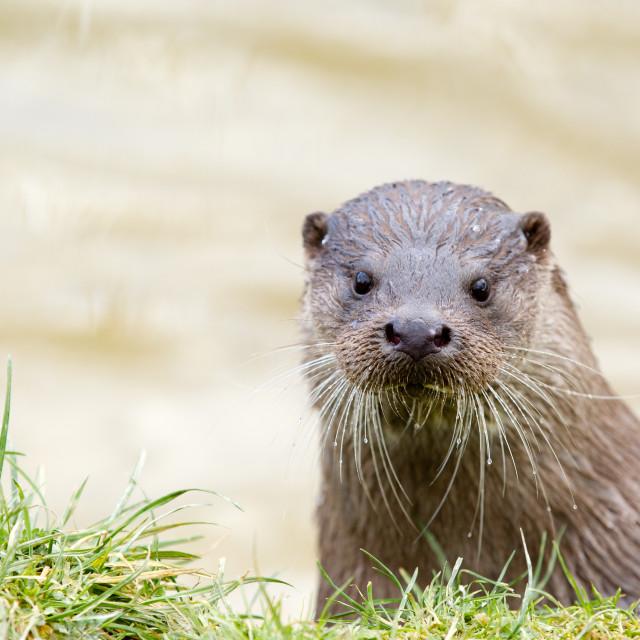 """Otter portrait"" stock image"