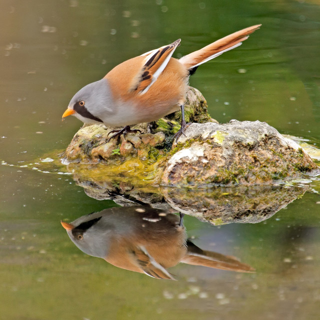 """Bearded Tit Reflection"" stock image"