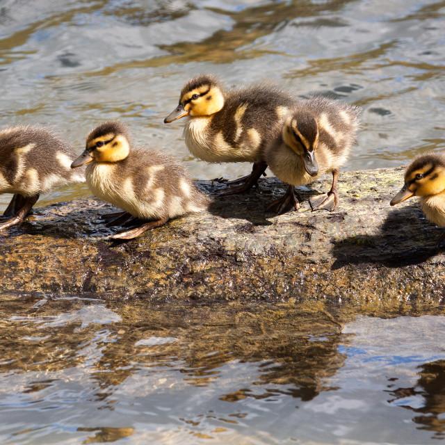 """Five Little Ducks"" stock image"