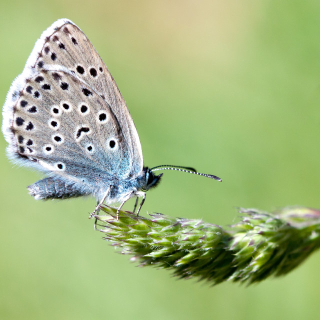 """Large Blue at Collard Hill"" stock image"