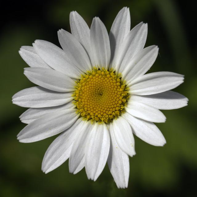 """Oxeye daisy taken at Sandwich Bay"" stock image"