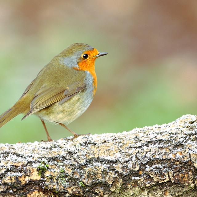 """""""lovely robin sat on a frosty log"""" stock image"""