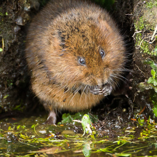 """A water vole sat on the canal at Cromford"" stock image"