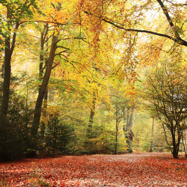 """""""Autumn Gold in the Woods"""" stock image"""