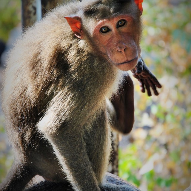"""Curious Monkey"" stock image"