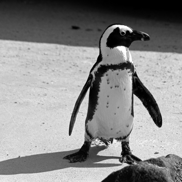 """African Penguin"" stock image"