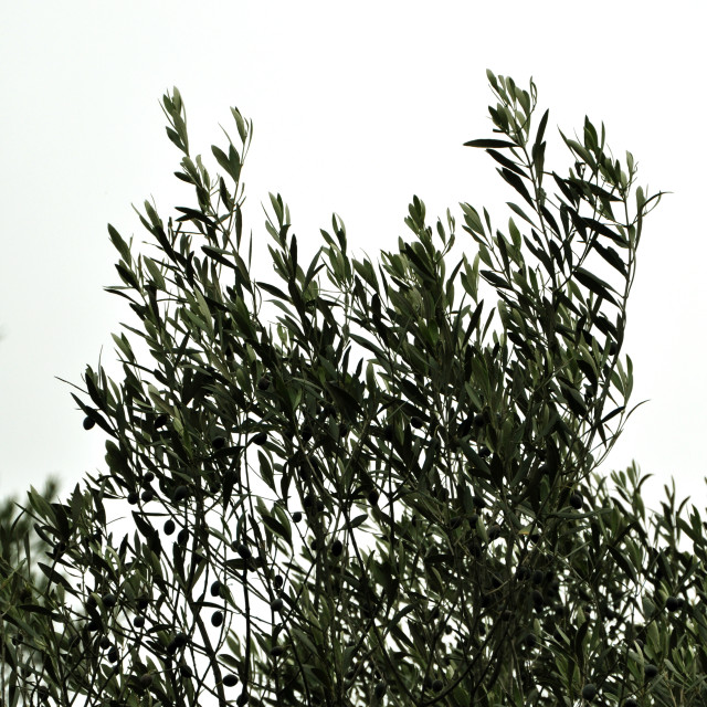 """""""olive tree branches"""" stock image"""