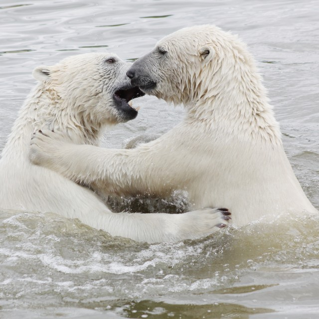 """Polar bears in water"" stock image"