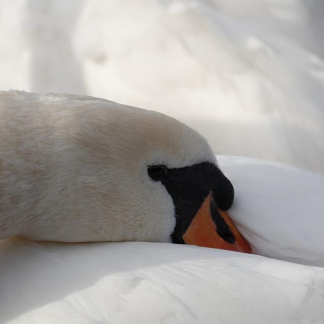 """Resting swan"" stock image"