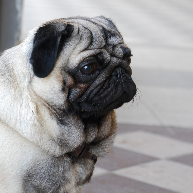 """Sad pug"" stock image"