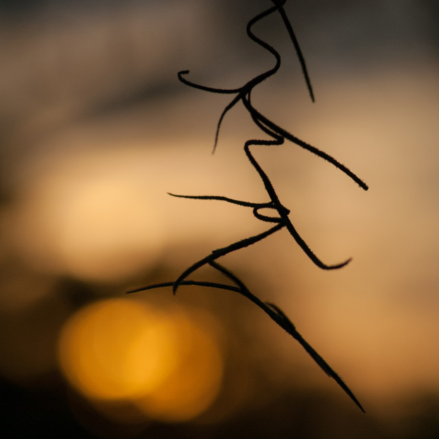 """Spanish moss in the sunset"" stock image"