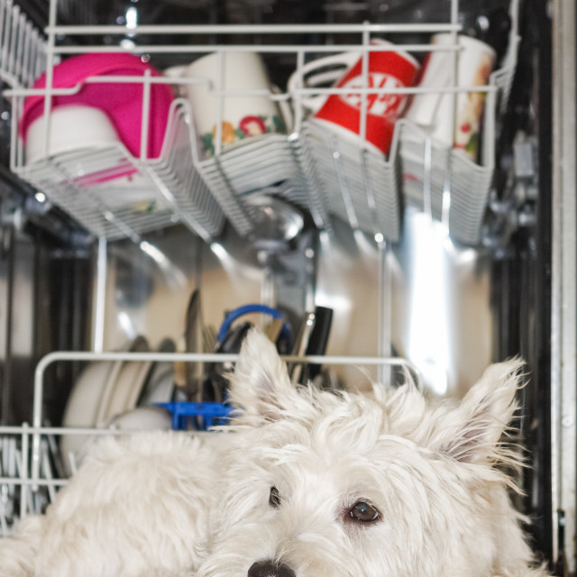 """West highland terrier. Charlie in the dishwasher"" stock image"