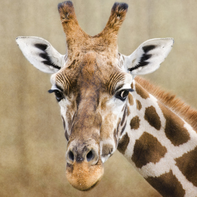 """Giraffe Portrait"" stock image"