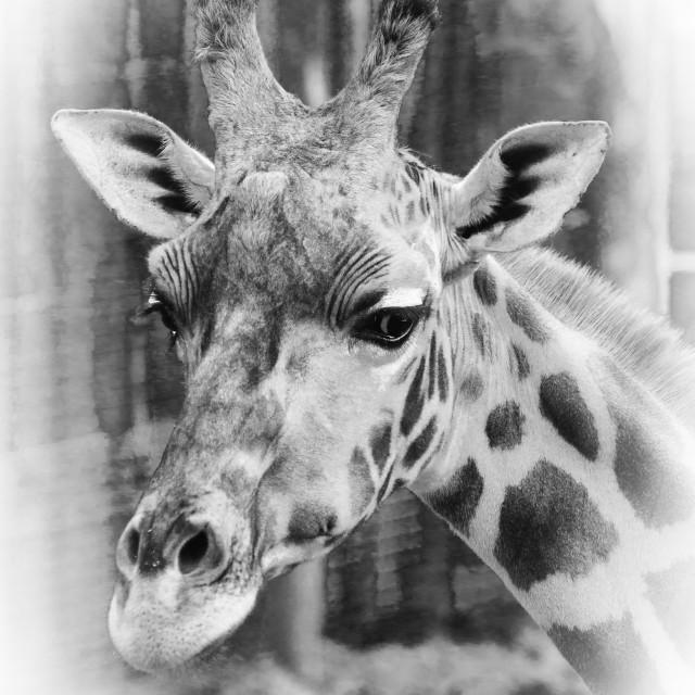 """Giraffe Portrait Black And White"" stock image"