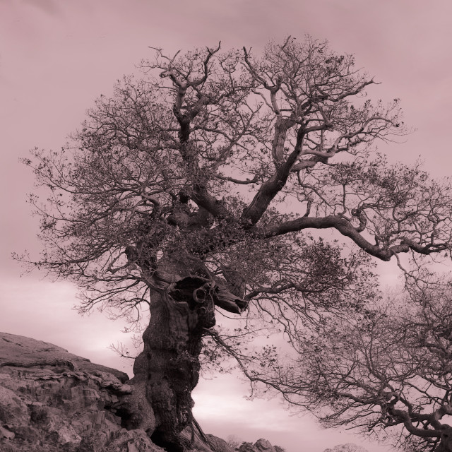 """Oak On A Slope"" stock image"