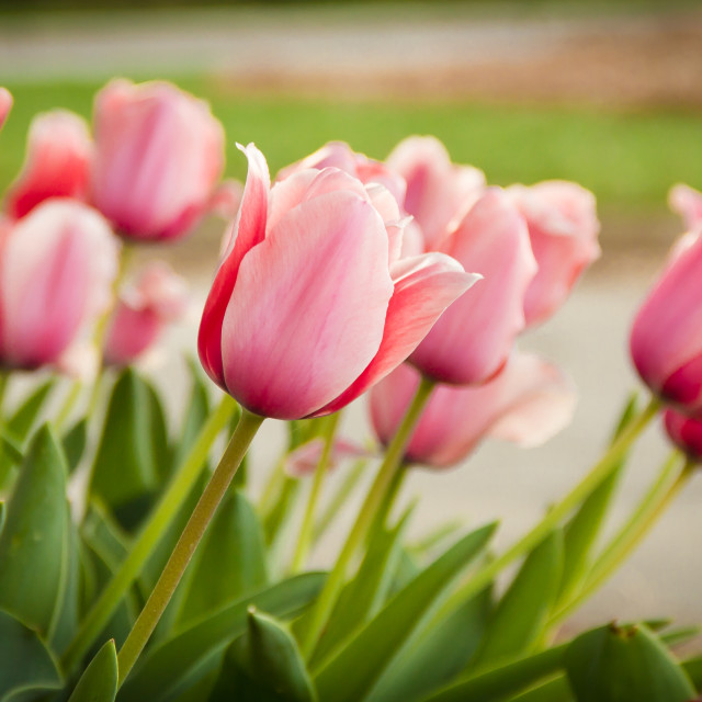 """Pink Tulips"" stock image"