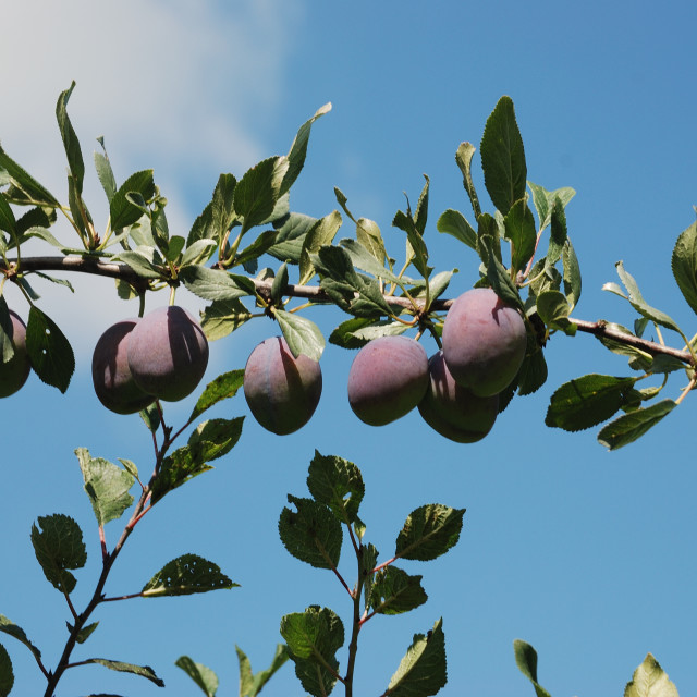 """part of a branch with plum"" stock image"