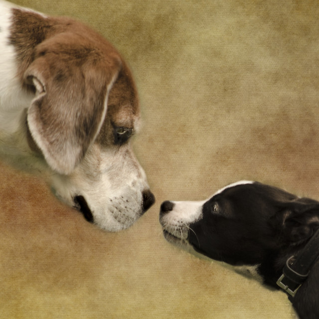 """""""Nose To Nose Dogs 2"""" stock image"""