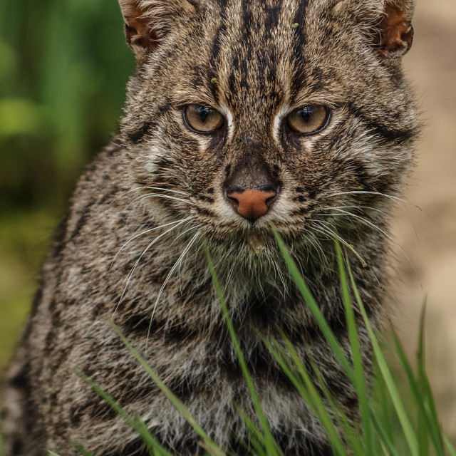 """Fishing Cat"" stock image"