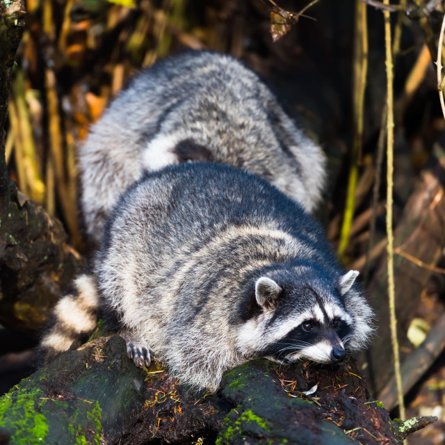 """Raccoons on log"" stock image"