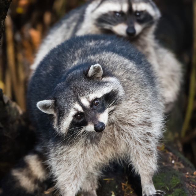 """Pacific Nortwest Raccoons"" stock image"