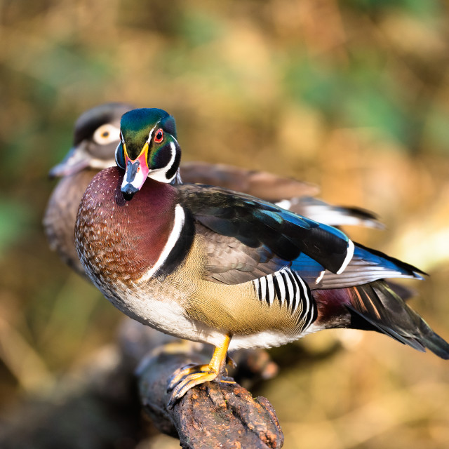 """""""Wood ducks, male and female"""" stock image"""