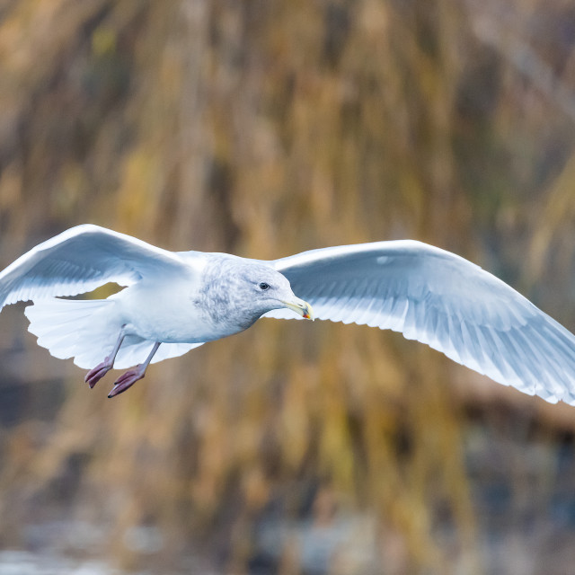 """Gull flyby"" stock image"