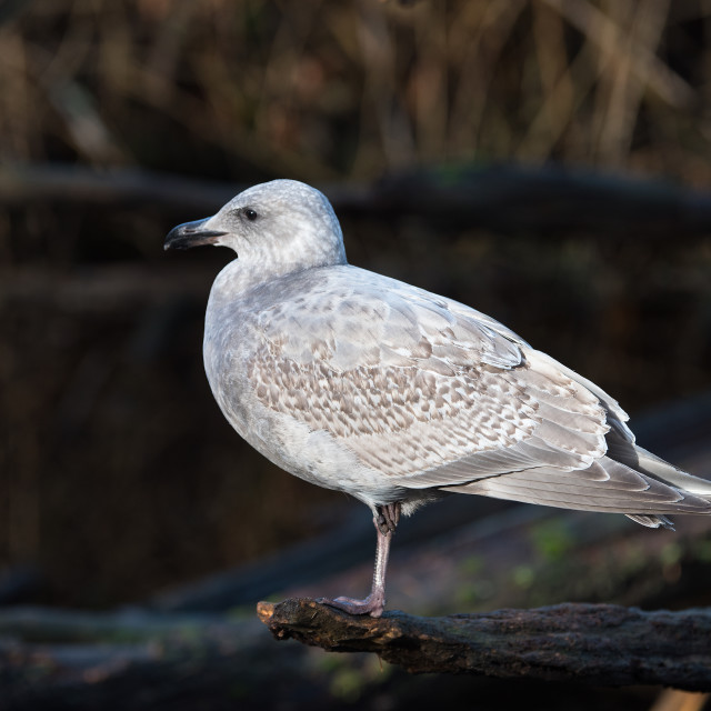 """Gull sitting on a log"" stock image"