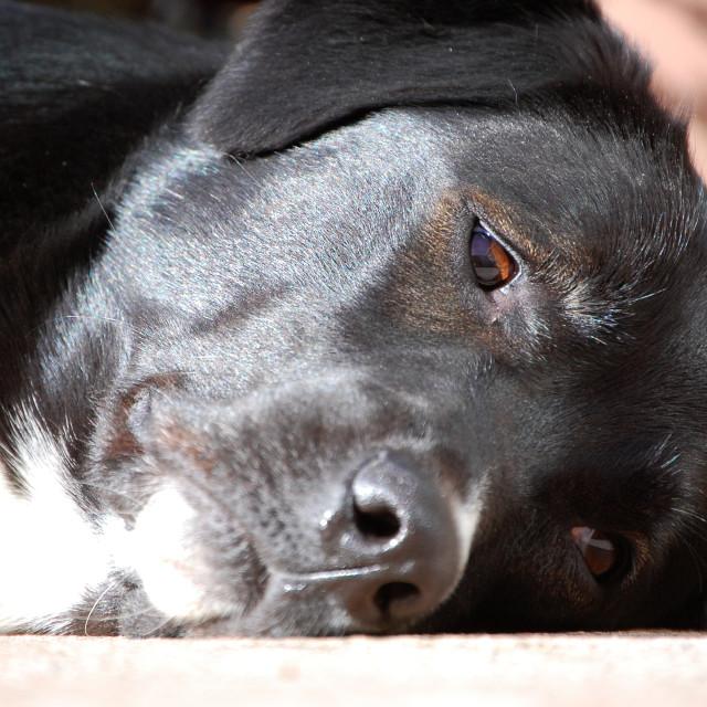 """Dog daydream"" stock image"