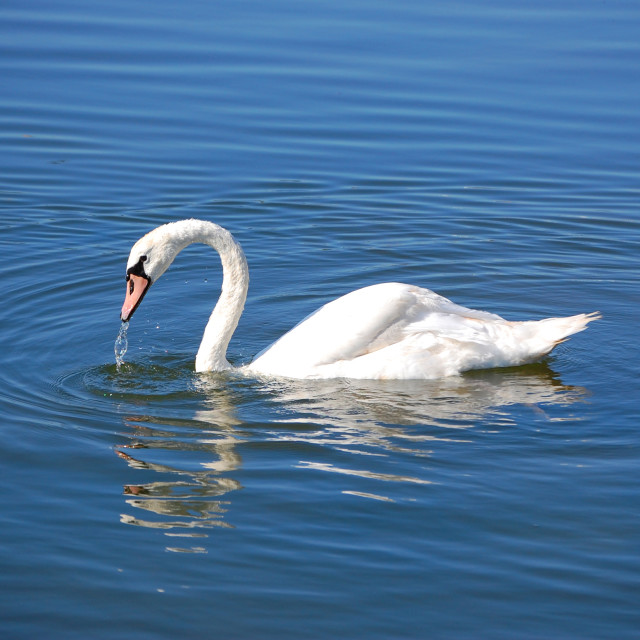 """Swan beauty 1"" stock image"