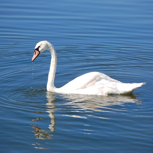 """Swan beauty 2"" stock image"