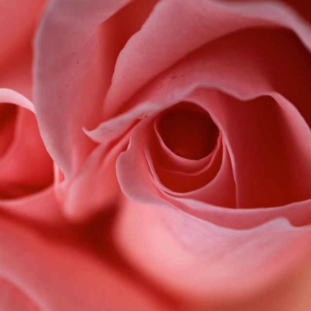 """Rose Bud"" stock image"
