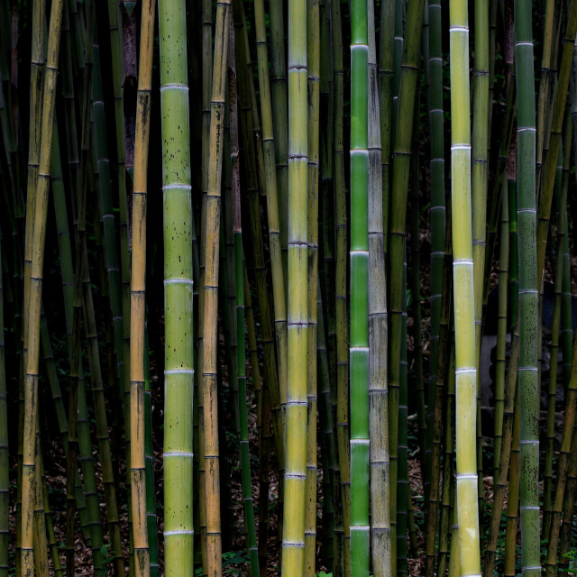 """Bamboo wall"" stock image"