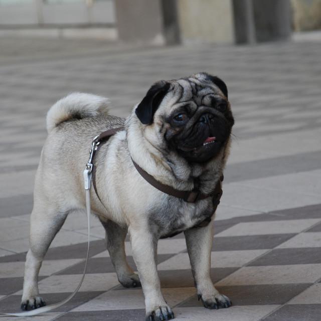 """Friendly pug"" stock image"