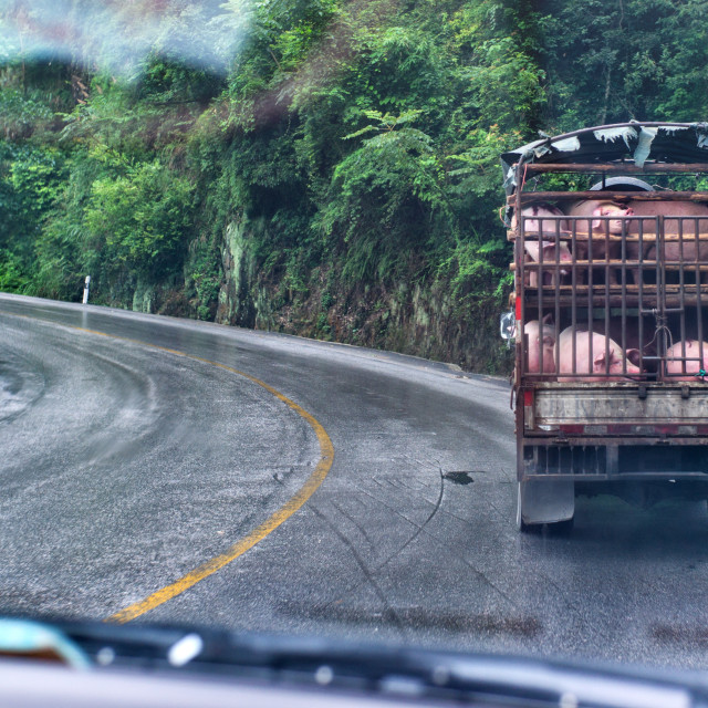 """Pig transport"" stock image"