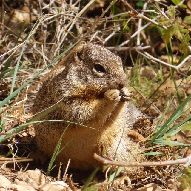 """Ground Squirrel."" stock image"
