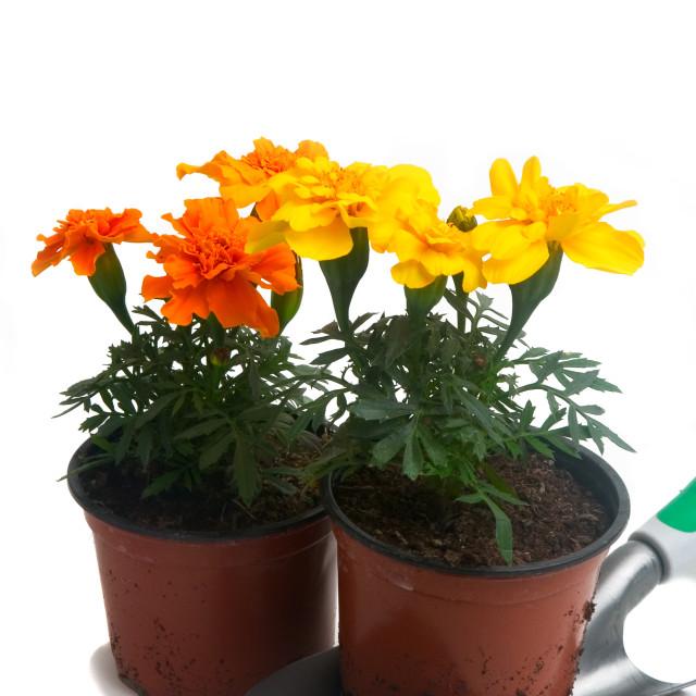 """""""French marigolds"""" stock image"""