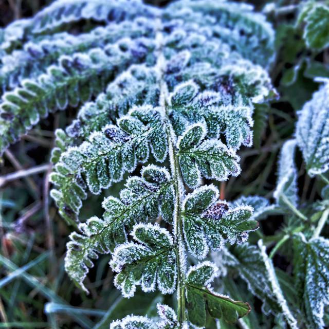 """""""Crisp Fern In Winter"""" stock image"""