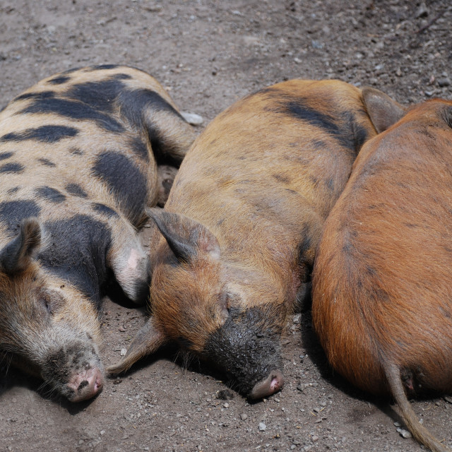 """Three little pigs"" stock image"