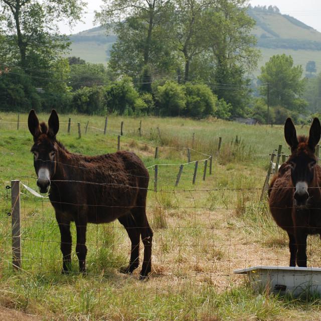 """""""Two donkeys"""" stock image"""