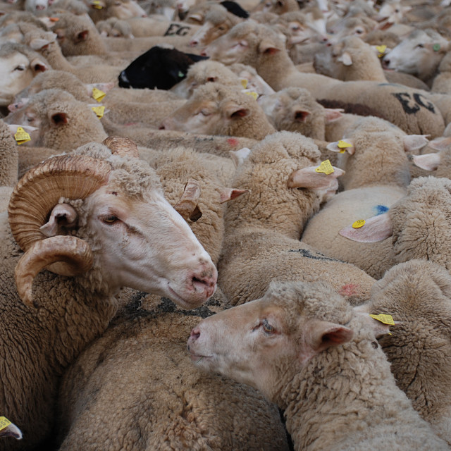 """""""Sheep in conversation"""" stock image"""