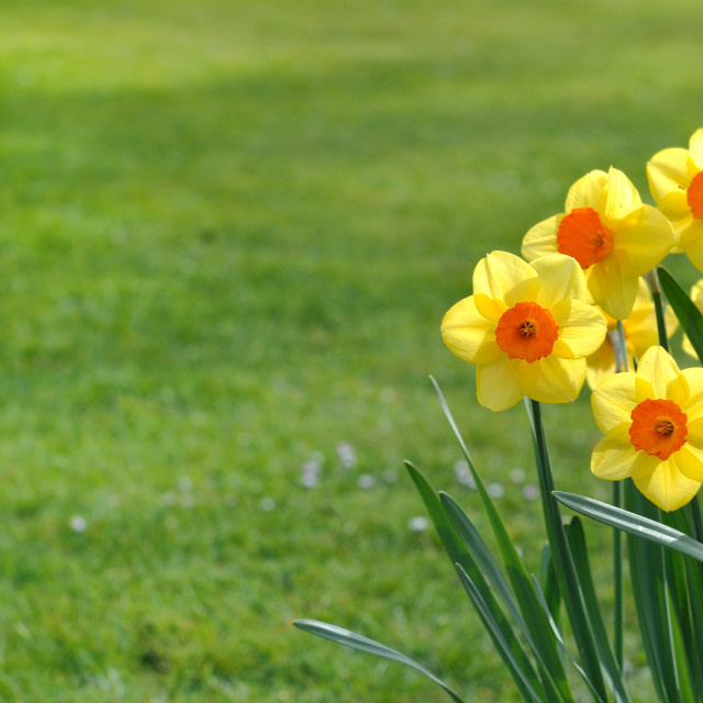 """bunch of daffodils"" stock image"