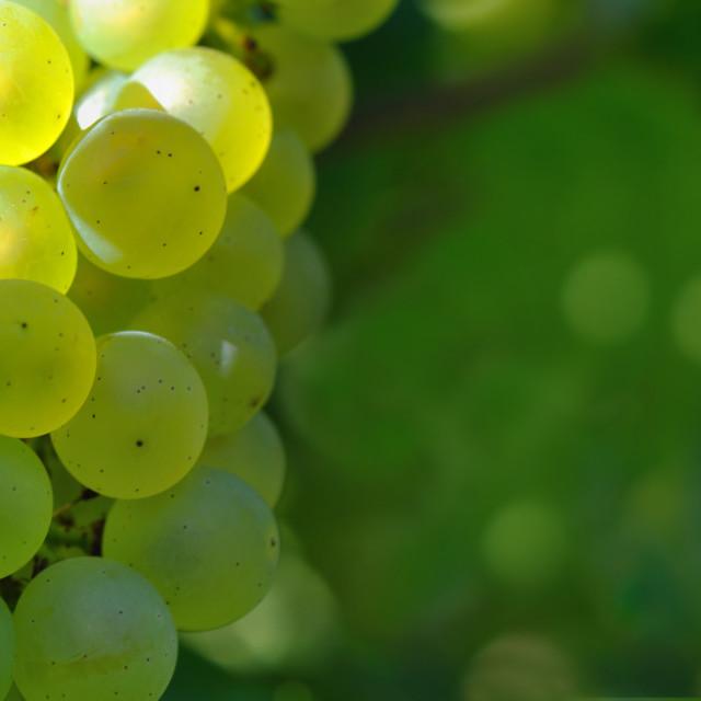 """close on white grape"" stock image"